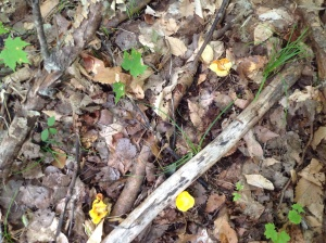 Chanterelle Hunting
