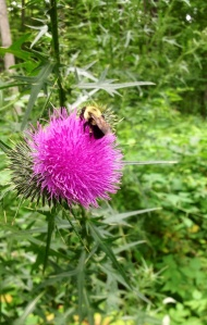 Honey Bee on Bull Thistle