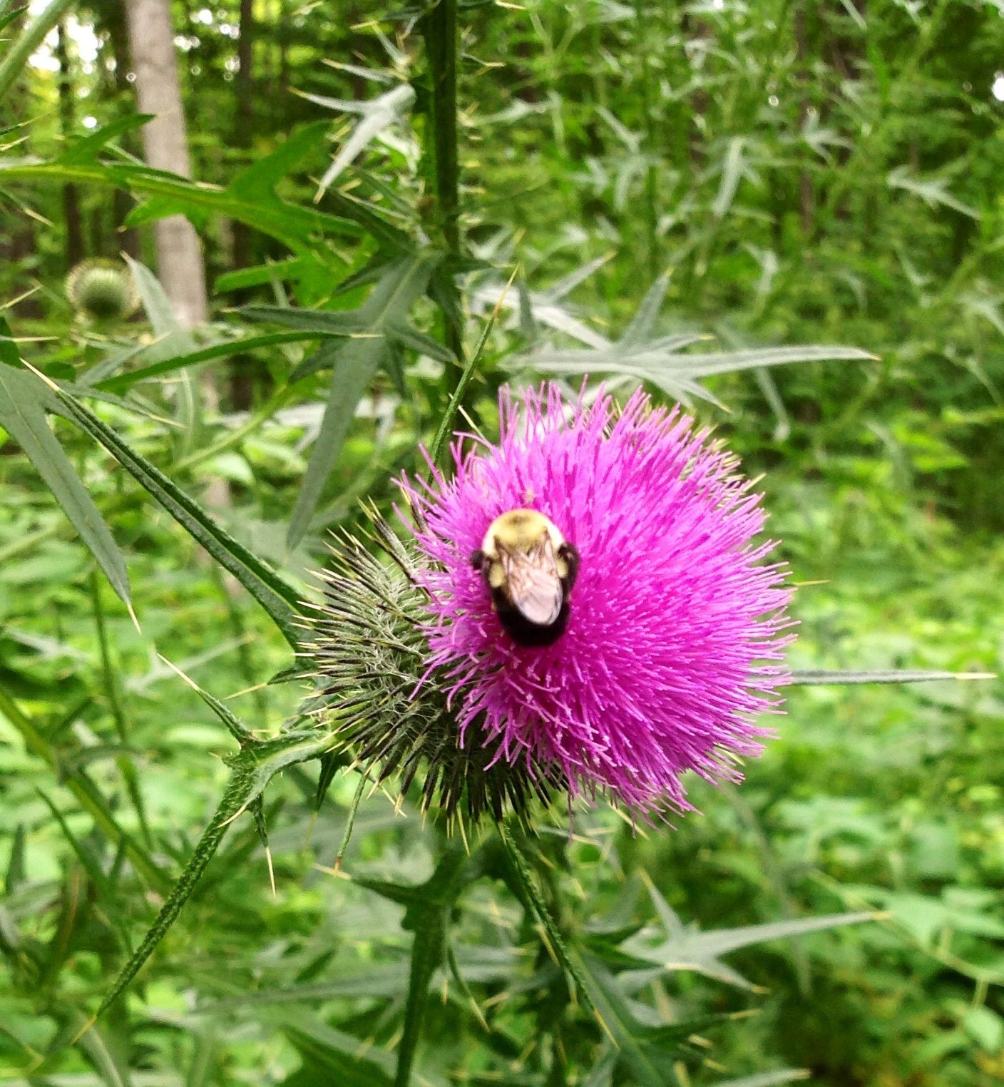 bull thistle research paper Lyon's research paper and the research project summary vegetation response to  1993 interference of bull thistle (cirsium vulgare) with growth of.