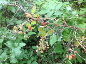 Blackberries grow upright